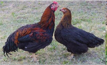 群馬県の新井養鶏の上州地鶏のお取り寄せやレシピを紹介!【満点☆青空レストラン】